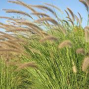 Plants in Cabo Real Golf course. Cabo San Lucas, BCS.Mexico