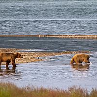 USA, Alaska, Katmai. Grizzly cubs exploring rivermouth.