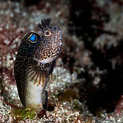 This is a male Neoclinus bryope chaenopsid blenny that has emerged from his dwelling in the reef to scan the water for passing prey. This species is called koke-ginpo in Japanese.