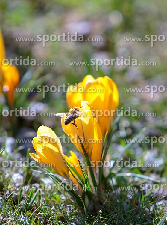 THEMENBILD - eine Biene fliegt zu einer gelben Krokusblüte (Iridaceae), aufgenommen am 13. März 2018, Piesendorf, Österreich // a bee flies to a yellow crocus blossom (Iridaceae) on 2018/03/13, Piesendorf, Austria. EXPA Pictures © 2018, PhotoCredit: EXPA/ Stefanie Oberhauser