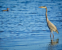 Great Blue Heron at Fort De Soto park. Image taken with a Fuji X-H1 camera and 200 mm f/2 OIS lens + 1.4x teleconverter (ISO 200, 280 mm, f/4, 1/550 sec).