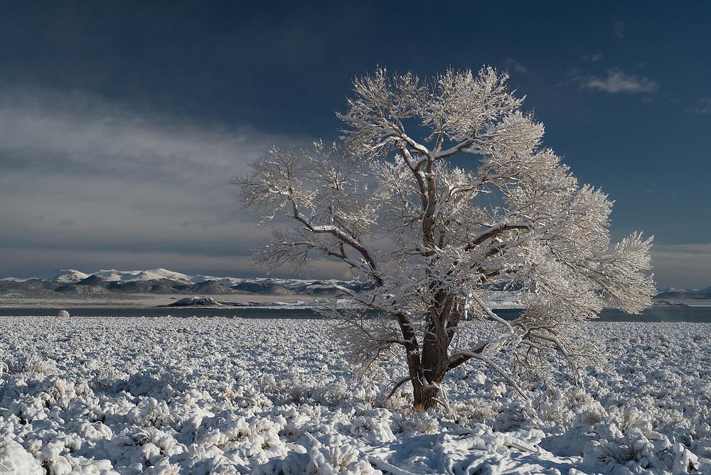 A cottonwood tree after a spring snowfall, Mono Lake