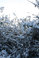 Snow covered hedgerow in Dublin Ireland November 2010