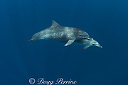 Atlantic spotted dolphin and calf, Stenella frontalis, off Placencia, Belize, Central America ( Caribbean )