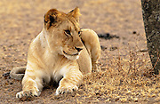 A Lioness, Grumeti, Tanzania, East Africa