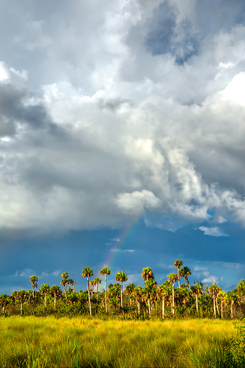 A sudden storm comes and goes in a flash in Southwest Florida's Fakahatchee Strand leaving behind a beautiful rainbow over the palms, sawgrass, alligators and legions of nesting birds on a cool sunny autumn day.