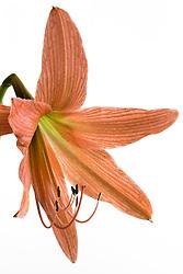 Amaryllis belladonna#3