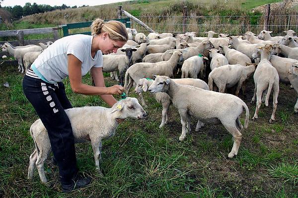Nederland, Blerick, 29-8-2007..Blauwtong. Schaapsherder Lisette Walter bekijkt haar kudde schapen op symptomen van het virus, en markeert ze met een stift zodat ze naar de stal kunnen. Er bestaat nog geen vaccin,medicijn,geneesmiddel tegen het blauwtongvirus. De dieren kwijnen weg omdat ze niet meer eten,veel pijn hebben en inwendige infecties krijgen. Deze schapenboer geeft wel een injectie,spuit tegen de pijnen,pijnstiller, zodat de beesten blijven eten en misschien genezen. Met antibiotica proberen ze de infecties te  bestrijden. De besmette schapen gaan slijm uit de bek afscheiden,kwijlen, vanwege aantasting van de mondholte en tong...Foto: Flip Franssen/Hollandse Hoogte