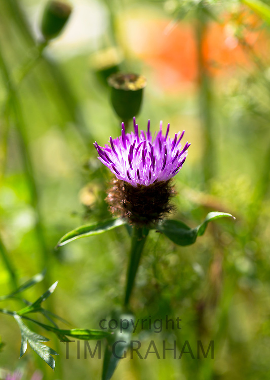 Lesser Knapweed, Centaurea nigra, also known as Common Knapweed wildflower in garden in The Cotswolds, England, UK