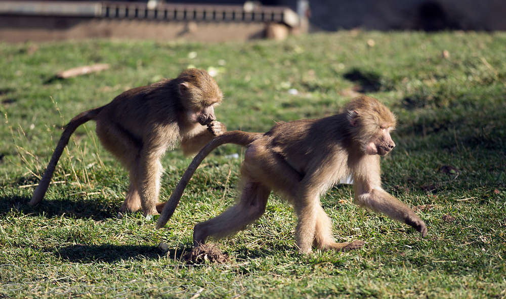 Two new male members of the Hamadryas baboon exhibit, Milo and Kusa, cavort at the Oakland Zoo, Wednesday, Dec. 23, 2015. The youngsters, who just finished a month-long quarantine period after arriving from New York's Prospect Park Zoo, seem to be adjusting well to their new troop. (D. Ross Cameron/Bay Area News Group)