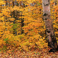"""""""Birch Bark and Autumn""""<br /> <br /> A lovely old Birch tree stands prominent against a backdrop of yellow and gold Maples!!<br /> <br /> Fall Foliage by Rachel Cohen"""