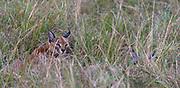Female and cub caracal hiding in the savannah grass of Maasai Mara, Kenya.