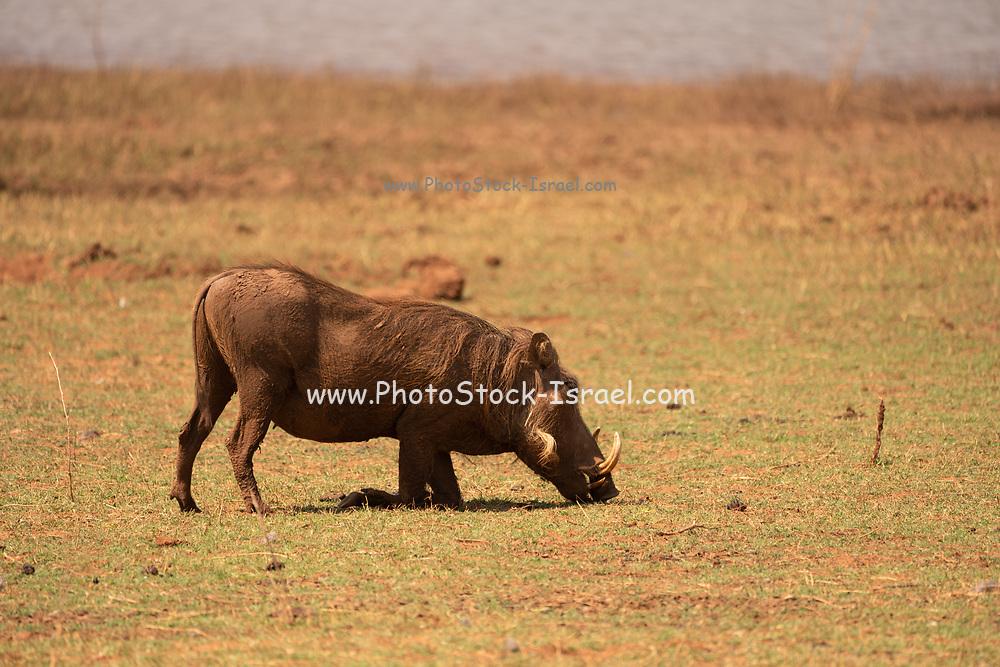 Common Warthog (Phacochoerus africanus) Photographed in Lake Kariba National Park, Zimbabwe