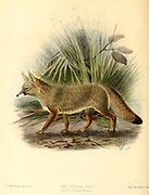 """The Bengal fox (Vulpes bengalensis [Here as Canis bengalensis]), also known as the Indian fox, is a fox endemic to the Indian subcontinent from the Himalayan foothills and Terai of Nepal through southern India, and from southern and eastern Pakistan to eastern India and southeastern Bangladesh. From the Book Dogs, Jackals, Wolves and Foxes A Monograph of The Canidae [from Latin, canis, """"dog"""") is a biological family of dog-like carnivorans. A member of this family is called a canid] By George Mivart, F.R.S. with woodcuts and 45 coloured plates drawn from nature by J. G. Keulemans and Hand-Coloured. Published by R. H. Porter, London, 1890"""