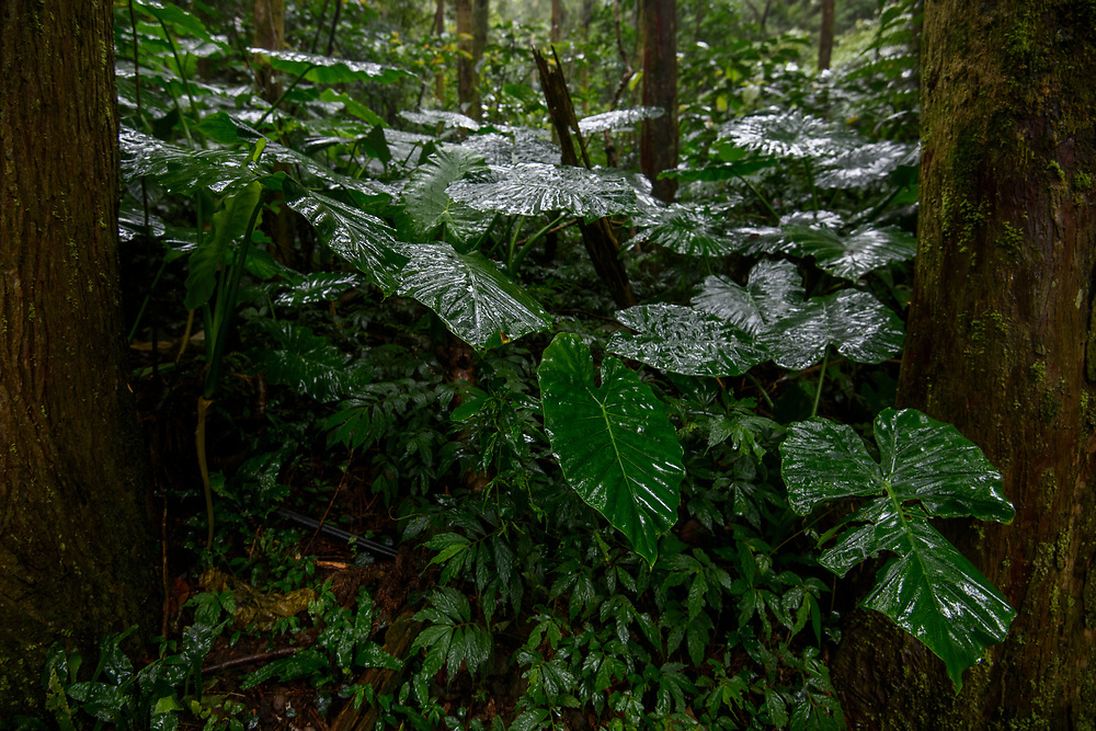 Alocasia sp. after rain in Taiwan montane forest