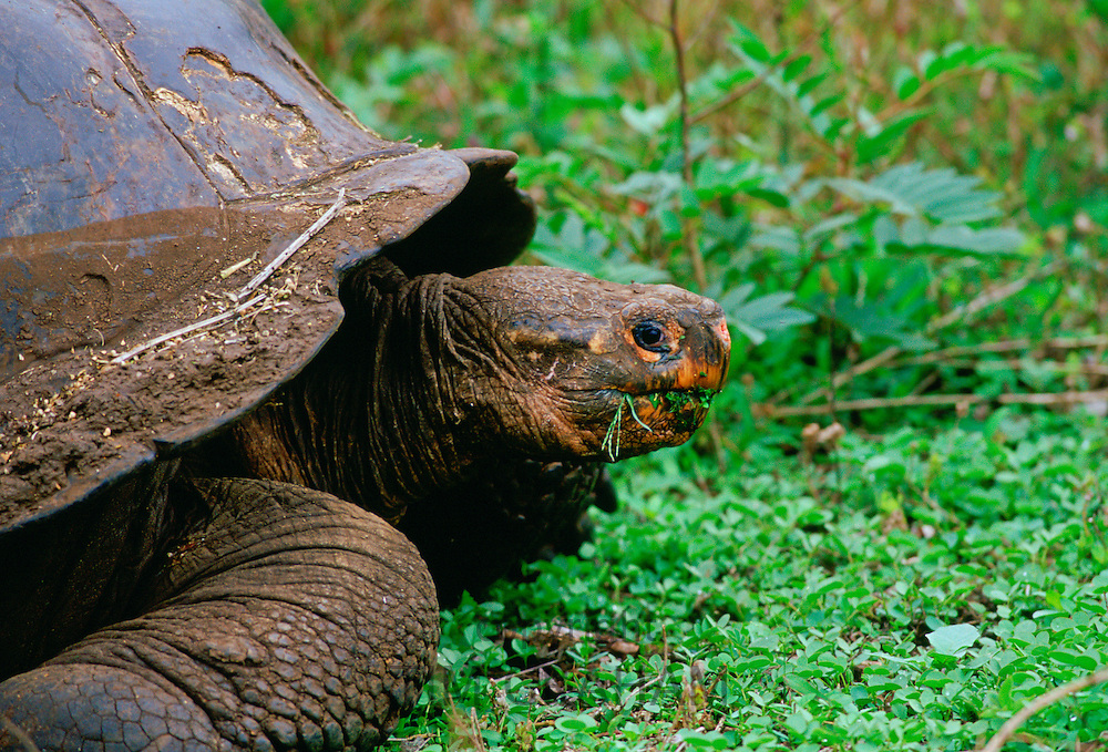 Giant tortoise feeding on leaves on the Galapagos Islands