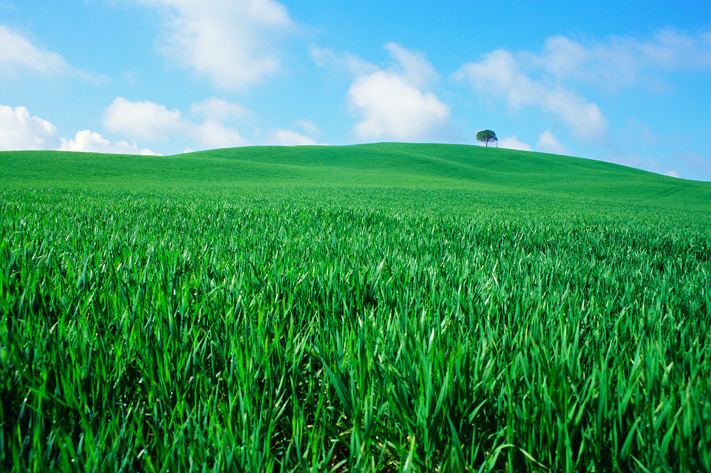 Spring wheat filed in Tuscany outside Siena, Italy.