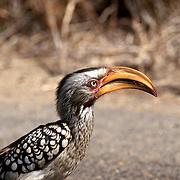 Krugerparken 2002 07 Syd Afrika<br /> the yellow-billed hornbill<br /> lustig fågel<br /> <br /> <br /> FOTO JOACHIM NYWALL KOD0708840825<br /> COPYRIGHT JOACHIMNYWALL:SE<br /> <br /> ****BETALBILD****<br />  <br /> Redovisas till: Joachim Nywall<br /> Strandgatan 30<br /> 461 31 Trollhättan<br />  Prislista: BLF, om ej annat avtalats