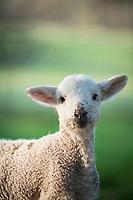 Baby lambs on a farm.