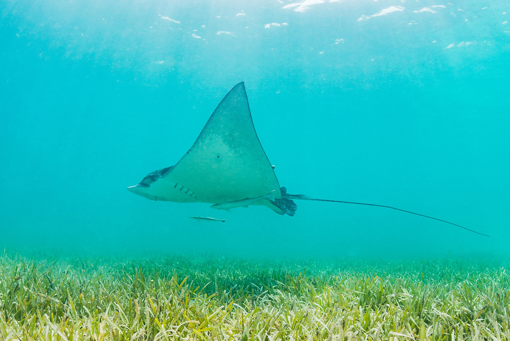 White spotted eagle ray (Aetobatus narinari) soaring over a seagrass meadow off Eleuthera, Bahamas.