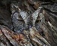 Eastern Screech-Owl (Megascops asio). Campos Viejos, Texas. Image taken with a Nikon D4 camera and 500 mm f/4 VR lens.