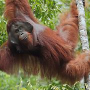 Orangutan (Pongo pygmaeus) large male, Tanjung Puting National Park, Borneo