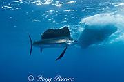 Atlantic sailfish ( Istiophorus albicans or Istiophorus platypterus ) behind sport fishing boat, Yucatan Peninsula, Mexico ( Caribbean Sea )