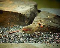 Female Northern Cardinal. Image taken with a Nikon D4 camera and 600 mm f/4 VR lens (ISO 400, 600 mm, f/4, 1/800 sec).