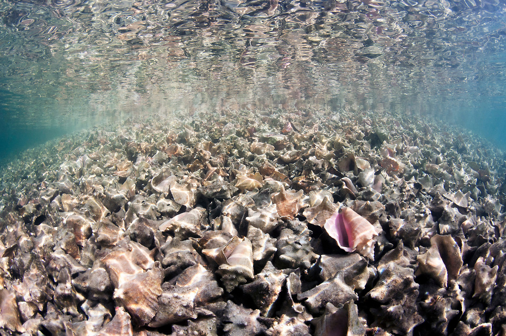 A massive pile of queen conch (Lobatus gigas) shells, called a midden, in The Bahamas.