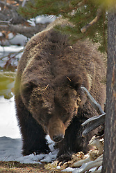 Huge Grizzly Bear, the Preacher, Yellowstone National Park