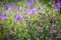 Geranium 'Nimbus' with Sedum telephium 'Matrona' in the West Garden at Manor Farm House