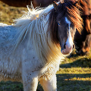 Blue-eyed Icelandic horse at Grundarfjörður on the Snaefellsnes Peninsula in western Iceland.