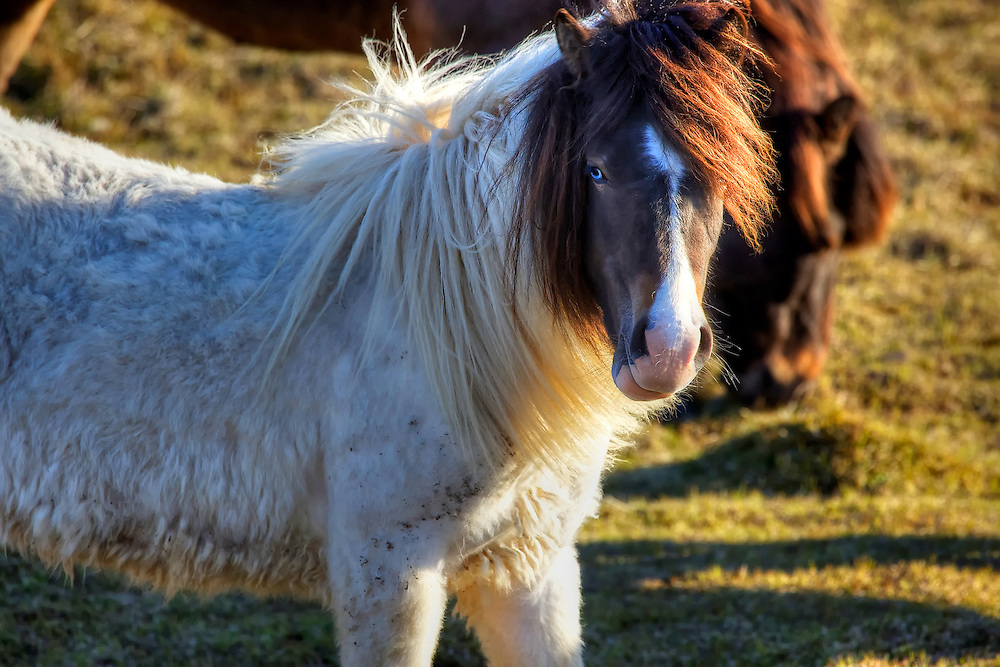 Blue-eyed Icelandic horse at Grundarfjörður on the Snaefellsnes Peninsula in western Iceland.