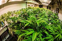 Young marijuana plants, Sticky Buds, Denver, Colorado USA.