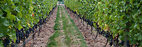 The red wine grape pinot noir is harvested at Symphony Vineyards, a family-owned winery on the Saanich Penninsula on Vancouver Island, BC. The grape is a deep blue and is favored as a popular wine grape.