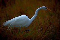 Great Egret Hunting in a Marsh at Merritt Island Wildlife Refuge. Image taken with a Nikon D3x and 500 mm f/4 VR lens (ISO 100, 500 mm, f/4, 1/500 sec)
