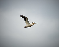 American White Pelican in flight. Biolab Road, Merritt Island National Wildlife Refuge. Image taken with a Nikon D4 camera and 300 mm f/2.8 VR lens (ISO 100, 300 mm, f/2.8, 1/2500 sec).