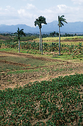 Open countryside in Pinar Province; Cuba; with crops and palm trees,