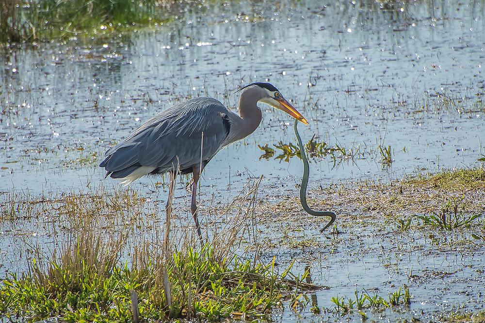A great blue heron catches a northwestern garter snake in the wetlands in the Nisqually National Wildlife Refuge just outside of Olympia, Washington on a beautiful springtime afternoon.