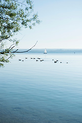 Ducks geese lake landscape tree sailing boat