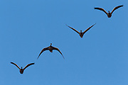 Four Canada geese (Branta canadensis) fly in formation over the Nisqually Wildlife Refuge in Washington state. The Canada goose is the most widespread goose in North America and is found on ponds and marshes throughout the year in Canada and the northern United States.