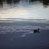Mallard swims unknowingly in oily waters, Liberty Park, Salt Lake City