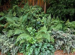 Ferns - Cyrtomium falcatum, Dryopteris 'Stableri', D.wallichiana, D. cristata, Pulmonaria sacharata, Athyrium niponicum, Matteuccia struthiopteris