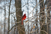Winter photo of the male Northern Cardinal.