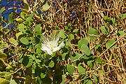 Capparis sinaica (Caper) is an evergreen thorny shrub, with thick woody branches. Capparis sinaica grows in an especially dry desert, mainly in river beds and in cracks in rocks. In Israel it is common only in the very south – in the southern Negev and the Arava Valley and on the Eilat Mountains. Its global distribution spreads mainly over east Africa.