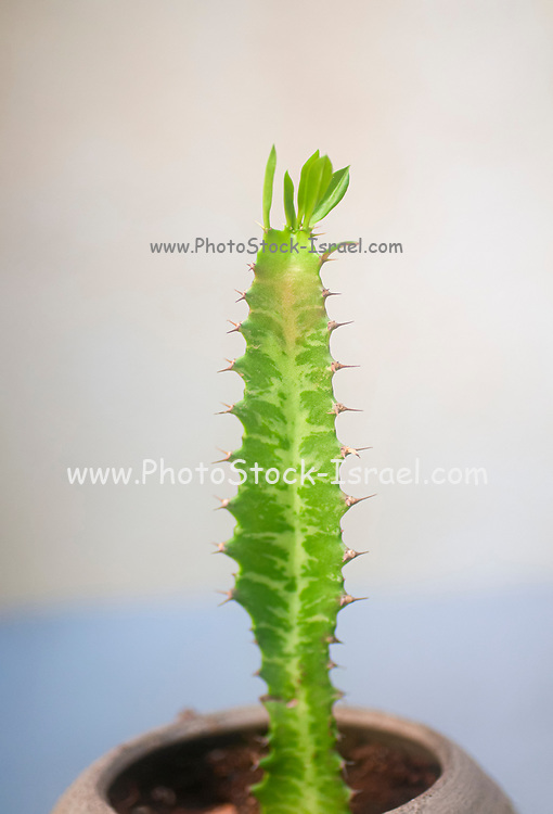 Euphorbia trigona African milk tree, Cathedral cactus, Abyssinian euphorbia is a perennial plant that originally comes from Central Africa. Photographed in Israel in July