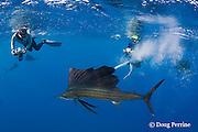 Stephen Wong and Takako Uno photograph Atlantic sailfish, Istiophorus albicans, attacking bait ball of Spanish sardines (aka gilt sardine, pilchard, or round sardinella ), Sardinella aurita, off Yucatan Peninsula, Mexico ( Caribbean Sea ) NR 401, 402
