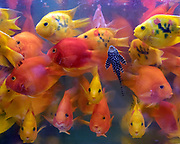 Blood parrot cichlids on display at Goldfish Market, Hong Kong. Blood parrot cichlide is a hybrid between midas cichlid (Amphilophus citrinellus) and redhead cichlid (Vieja melanura) and was produced in Taiwan in 1986.
