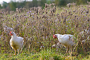Free-range chickens of breed  Isa 257 roam freely and graze among beneficial herbs at Sheepdrove Organic Farm, England