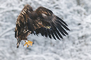 Immature white-tailed eagle (Haliaeetus albicilla) going for landing, Kemeri National Park (Ķemeru Nacionālais parks), Latvia Ⓒ Davis Ulands | davisulands.com